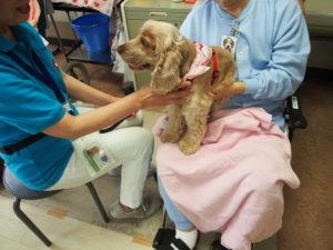 Eコッカー犬のアミーちゃんの写真