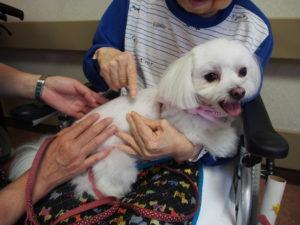 マルチーズ犬のマリリンちゃんの写真
